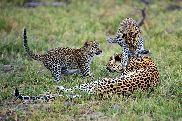 Leopard (Panthera pardus) cubs playing with mother, Botswana  -  Sergey Gorshkov