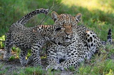 Leopard (Panthera pardus) cub nuzzling against mother, Botswana  -  Sergey Gorshkov