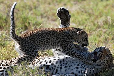 Leopard (Panthera pardus) cub playing with mother, Botswana  -  Sergey Gorshkov