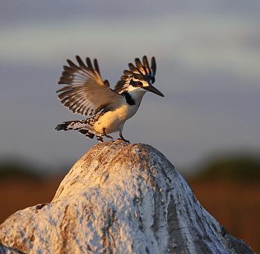 Pied Kingfisher (Ceryle rudis) female landing, Botswana  -  Sergey Gorshkov