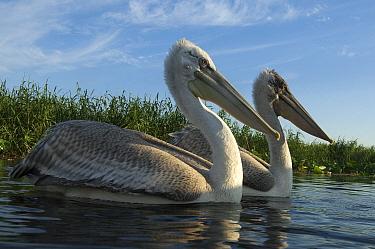 Dalmatian Pelican (Pelecanus crispus) pair, Volga Delta, Russia  -  Sergey Gorshkov