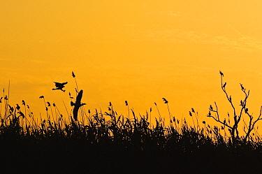 Osprey (Pandion haliaetus) chasing Cormorant (Phalacrocoracidae) at sunset, Volga Delta, Russia  -  Sergey Gorshkov