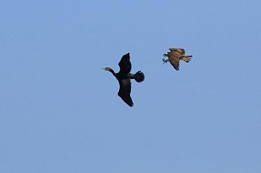 Osprey (Pandion haliaetus) chasing Cormorant (Phalacrocoracidae), Volga Delta, Russia  -  Sergey Gorshkov