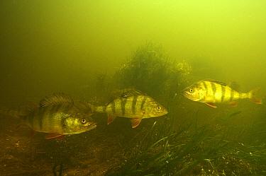 English Perch (Perca fluviatilis) trio, Volga Delta, Russia  -  Sergey Gorshkov