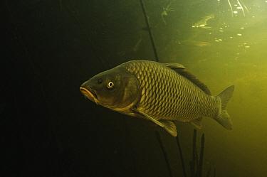 European Carp (Cyprinus carpio), Volga Delta, Russia  -  Sergey Gorshkov
