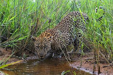 Leopard (Panthera pardus) drinking, Botswana  -  Sergey Gorshkov