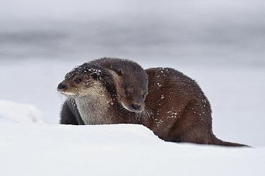 European River Otter (Lutra lutra) pair playing, Kamchatka, Russia  -  Sergey Gorshkov