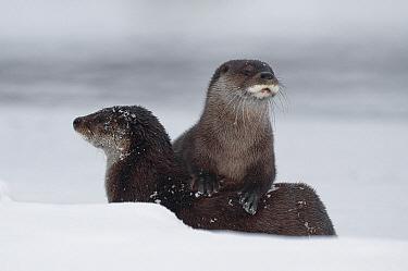 European River Otter (Lutra lutra) pair, Kamchatka, Russia  -  Sergey Gorshkov