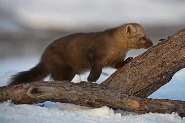 Sable (Martes zibellina) sniffing log, Kamchatka, Russia  -  Sergey Gorshkov