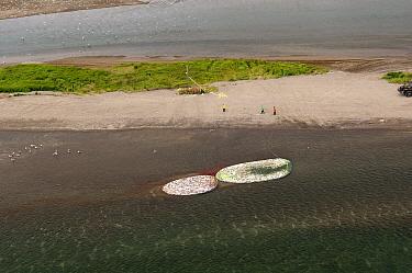 Sockeye Salmon (Oncorhynchus nerka) in nets, caught by fishermen near shore, Kamchatka, Russia  -  Sergey Gorshkov