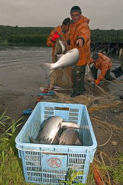 Sockeye Salmon (Oncorhynchus nerka) caught by fishermen near shore, Kamchatka, Russia  -  Sergey Gorshkov
