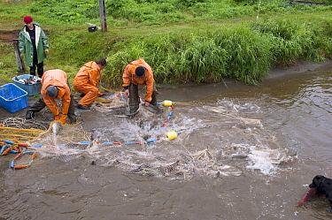 Sockeye Salmon (Oncorhynchus nerka) caught in net by fishermen near shore, Kamchatka, Russia  -  Sergey Gorshkov