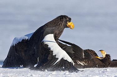 Steller's Sea Eagle (Haliaeetus pelagicus) adult pinning juvenile fighting, Kamchatka, Russia  -  Sergey Gorshkov