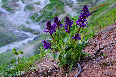 Keyflower Orchid (Dactylorhiza aristata) flowers with geysers in background, Valley of Geysers, Kamchatka, Russia  -  Sergey Gorshkov