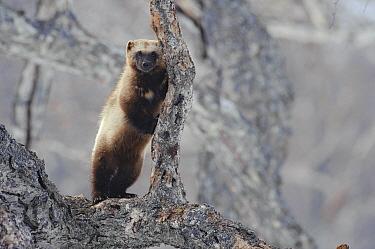 Wolverine (Gulo gulo) on tree, Kamchatka, Russia  -  Sergey Gorshkov
