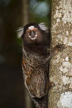 Common Marmoset (Callithrix jacchus), Sugarloaf Mountain, Rio de Janeiro, Brazil  -  Pete Oxford
