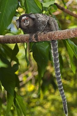 Common Marmoset (Callithrix jacchus) in tree, Sugarloaf Mountain, Rio de Janeiro, Brazil  -  Pete Oxford