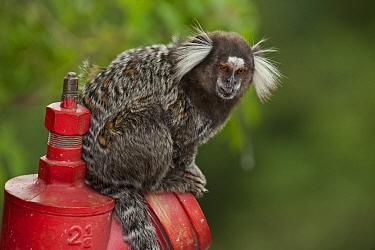 Common Marmoset (Callithrix jacchus) on fire hydrant, Sugarloaf Mountain, Rio de Janeiro, Brazil  -  Pete Oxford