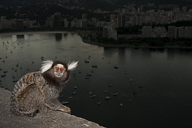 Common Marmoset (Callithrix jacchus) with harbor in background, Sugarloaf Mountain, Rio de Janeiro, Brazil  -  Pete Oxford