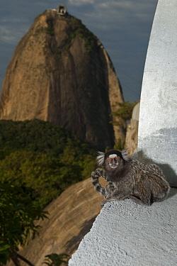 Common Marmoset (Callithrix jacchus) on building, Sugarloaf Mountain, Rio de Janeiro, Brazil  -  Pete Oxford