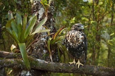 Black-chested Buzzard-Eagle (Geranoaetus melanoleucus) juvenile, Podocarpus National Park, Ecuador  -  Pete Oxford