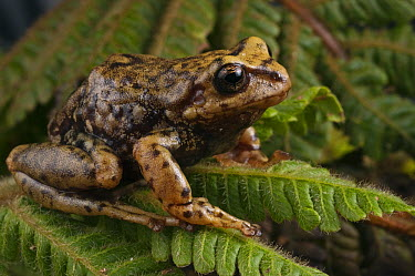 Southern Frog (Pristimantis sp), newly discovered species, Podocarpus National Park, Ecuador  -  Pete Oxford