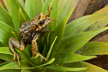 Southern Frog (Pristimantis sp), newly discovered species on bromeliad, Podocarpus National Park, Ecuador  -  Pete Oxford