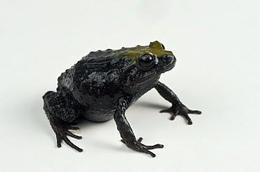 Southern Frog (Leptodactylidae), newly discovered species, Podocarpus National Park, Ecuador  -  Pete Oxford