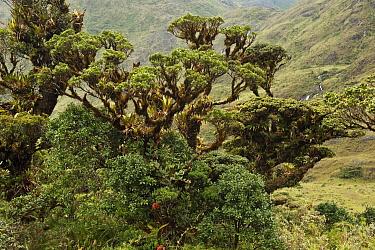 Podocarpus (Podocarpus sp) tree, Podocarpus National Park, Ecuador  -  Pete Oxford
