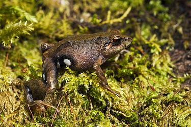 Urdaneta Robber Frog (Pristimantis orestes), Podocarpus National Park, Ecuador  -  Pete Oxford