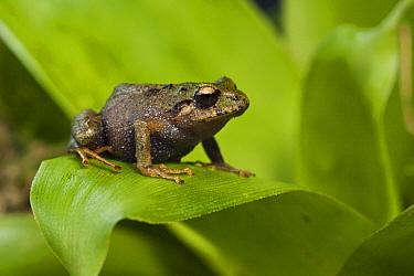 Urdaneta Robber Frog (Eleutherodactylus orestes), Podocarpus National Park, Ecuador  -  Pete Oxford