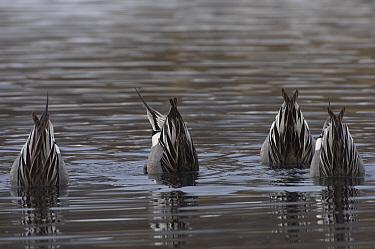 Northern Pintail (Anas acuta) drakes dabbling, Alaska  -  Michael Quinton