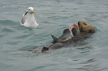 Sea Otter (Enhydra lutris) feeding on Pink Salmon (Oncorhynchus gorbuscha) while gull waits for scraps, Prince William Sound, Alaska  -  Michael Quinton