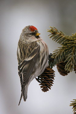 Common Redpoll (Carduelis flammea) female on Black Spruce (Picea mariana), Alaska  -  Michael Quinton
