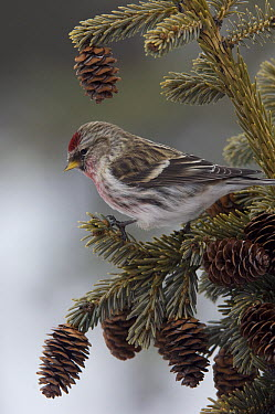 Common Redpoll (Carduelis flammea) male on Black Spruce (Picea mariana), Alaska  -  Michael Quinton
