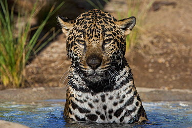 Jaguar (Panthera onca) in water, native to Central and South America  -  ZSSD