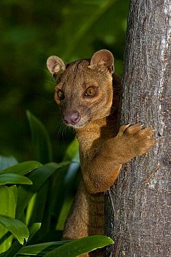 Fossa (Cryptoprocta ferox) climbing tree, native to Madagascar  -  ZSSD