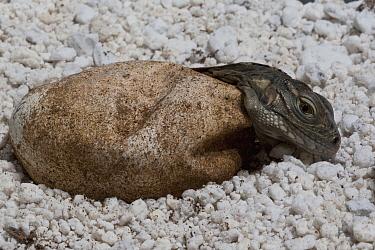 Cuban Iguana (Cyclura nubila) hatching, native to Cuba  -  ZSSD