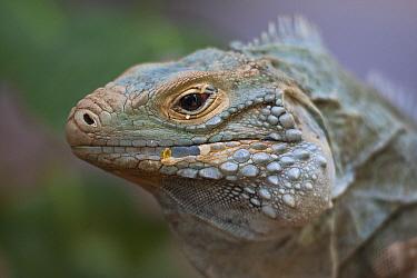 Cuban Iguana (Cyclura nubila), native to Cuba  -  ZSSD