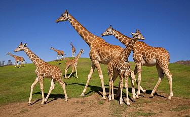 Giraffe (Giraffa sp) herd, native to Africa  -  ZSSD