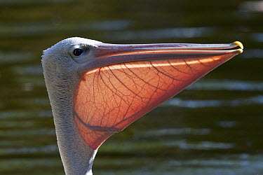 Pink-backed Pelican (Pelecanus rufescens) with extended pouch, native to Africa  -  ZSSD
