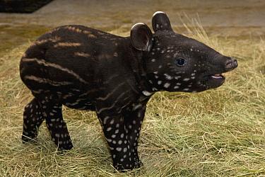 Malayan Tapir (Tapirus indicus) calf, native to Malaysia  -  ZSSD