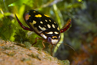 Sunburst Diving Beetle (Thermonectus marmoratus) underwater, native to North America  -  ZSSD