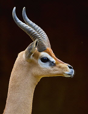 Gerenuk (Litocranius walleri) male, native to Africa  -  ZSSD