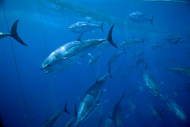 Atlantic Bluefin Tuna (Thunnus thynnus) shoal getting corralled in fishing net, Mediterranean Sea of the coast of Turkey  -  Richard Herrmann