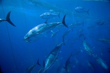 Atlantic Bluefin Tuna (Thunnus thynnus) shoal getting corralled in fishing net, Mediterranean Sea of the coast of Turkey  -  Richard Herrmann