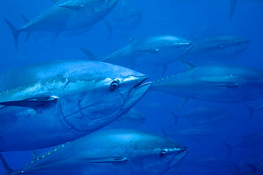 Atlantic Bluefin Tuna (Thunnus thynnus) shoal, Mediterranean Sea of the coast of Turkey  -  Richard Herrmann