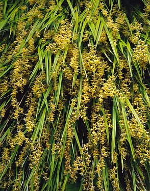 Orchid (Earina mucronata) group flowering, Port William, Rakiura National Park, New Zealand  -  Rob Brown/ Hedgehog House