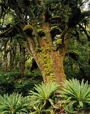 Totara (Podocarpus totora) tree, Rakiura National Park, New Zealand  -  Rob Brown/ Hedgehog House