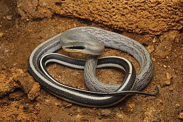 Taiwan Beauty Snake (Elaphe taeniura), Gunung Mulu National Park, Malaysia  -  Ch'ien Lee